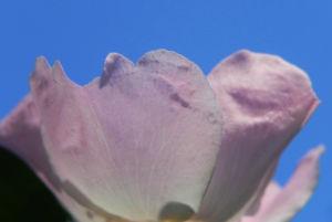 Bodendecker Rosen Bluete rosa Rosa nozomi 09