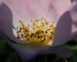 Bodendecker Rosen Bluete rosa Rosa nozomi 10