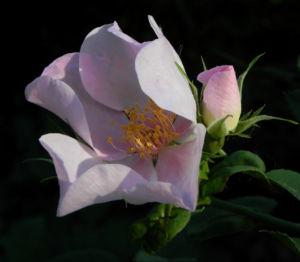Bodendecker Rosen Bluete rosa Rosa nozomi 11