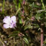 Bohnenkraut Bluete Satureja hortensis 04