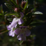 Bohnenkraut Bluete Satureja hortensis 05