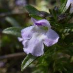 Bohnenkraut Bluete Satureja hortensis 06