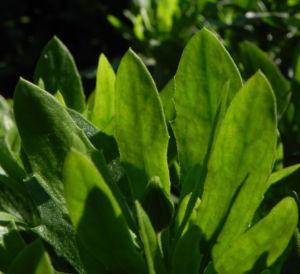 Bornholm Margerite Blatt gruen Osteospermum ecklonis 31