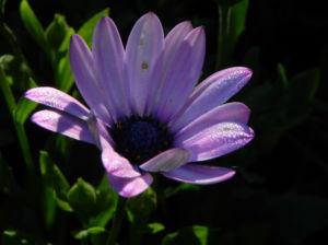 Bornholm Margerite Bluete weiss pink Osteospermum ecklonis 01