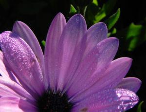 Bornholm Margerite Bluete weiss pink Osteospermum ecklonis 02