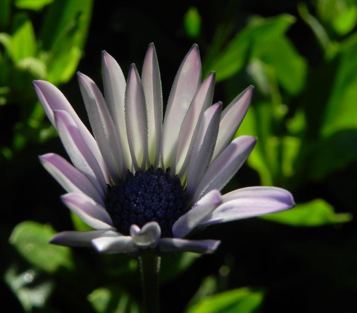 Bornholm Margerite Bluete weiss pink Osteospermum ecklonis