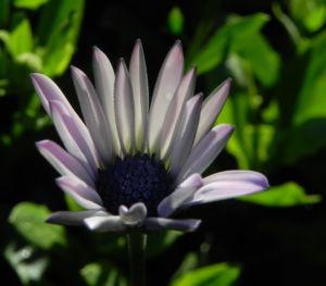 Bornholm Margerite Bluete weiss pink Osteospermum ecklonis 03