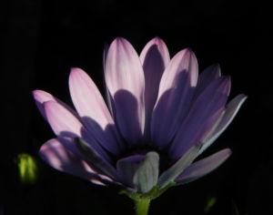Bornholm Margerite Bluete weiss pink Osteospermum ecklonis 04