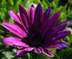 Bornholm Margerite Bluete weiss pink Osteospermum ecklonis 05