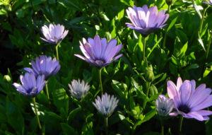 Bornholm Margerite Bluete weiss pink Osteospermum ecklonis 06
