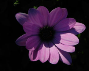Bornholm Margerite Bluete weiss pink Osteospermum ecklonis 07