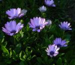 Bild: Bornholmmargerite Blatt grün Blüte pink Osteospermum ecklonis