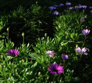 Bornholm Margerite Bluete weiss pink Osteospermum ecklonis 09