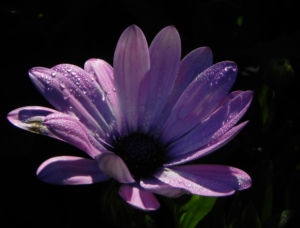 Bornholm Margerite Bluete weiss pink Osteospermum ecklonis 12