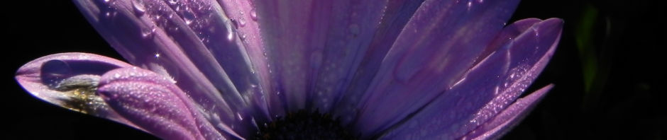 bornholmmargerite-blatt-gruen-bluete-pink-osteospermum-ecklonis
