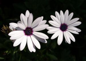 Bornholmer Margerite Bluete weiss Osteospermum spec 01