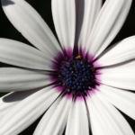 Bornholmer Margerite Bluete weiss Osteospermum spec 03