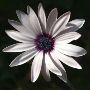 Bornholmer Margerite Bluete weiss Osteospermum spec 04