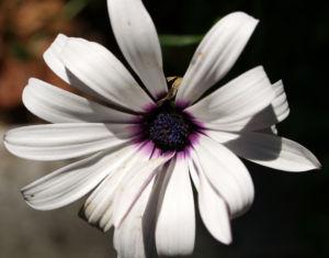 Bornholmer Margerite Bluete weiss Osteospermum spec 05