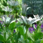 Bornholmer Margerite weiss Osteospermum 05