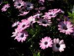 Bornholmmargerite Bluete pink Osteospermum ecklonis 01