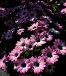 Bornholmmargerite Bluete pink Osteospermum ecklonis 02