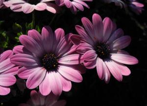 Bornholmmargerite Bluete pink Osteospermum ecklonis 03