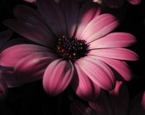 Bornholmmargerite Bluete pink Osteospermum ecklonis 05