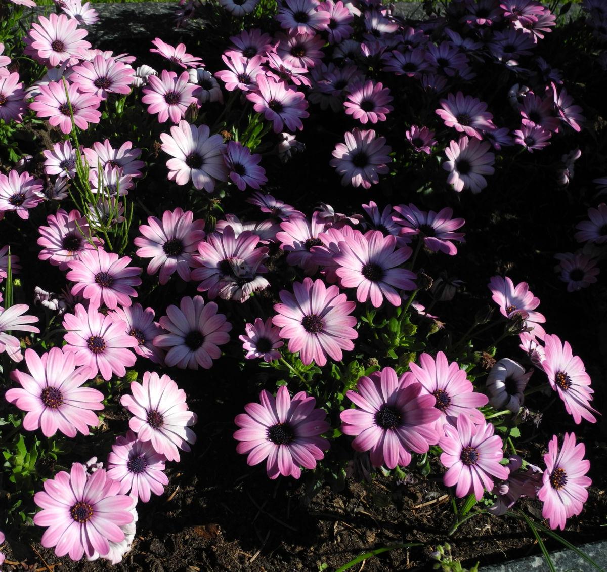 Bornholmmargerite Bluete pink Osteospermum ecklonis