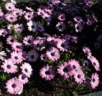 Bornholmmargerite Bluete pink Osteospermum ecklonis 07