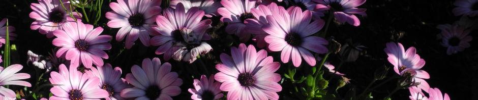 bornholmmargerite-bluete-pink-osteospermum-ecklonis