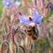 Zurück zum kompletten Bilderset Borretsch Blüte hellblau - Borago officinalis