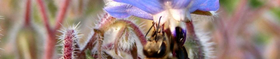 Anklicken um das ganze Bild zu sehen Borretsch Blüte hellblau - Borago officinalis