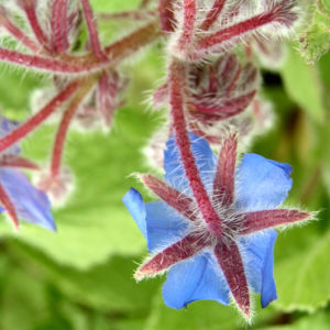 Borretsch Bluete hellblau Borago officinalis 11