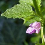 Borsten Bergminze Clinopodium vulgare 04