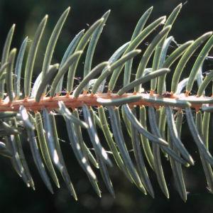 Borsten Fichte Bluete braun Picea asperata 15