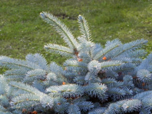 Borsten Fichte Bluete braun Picea asperata 24
