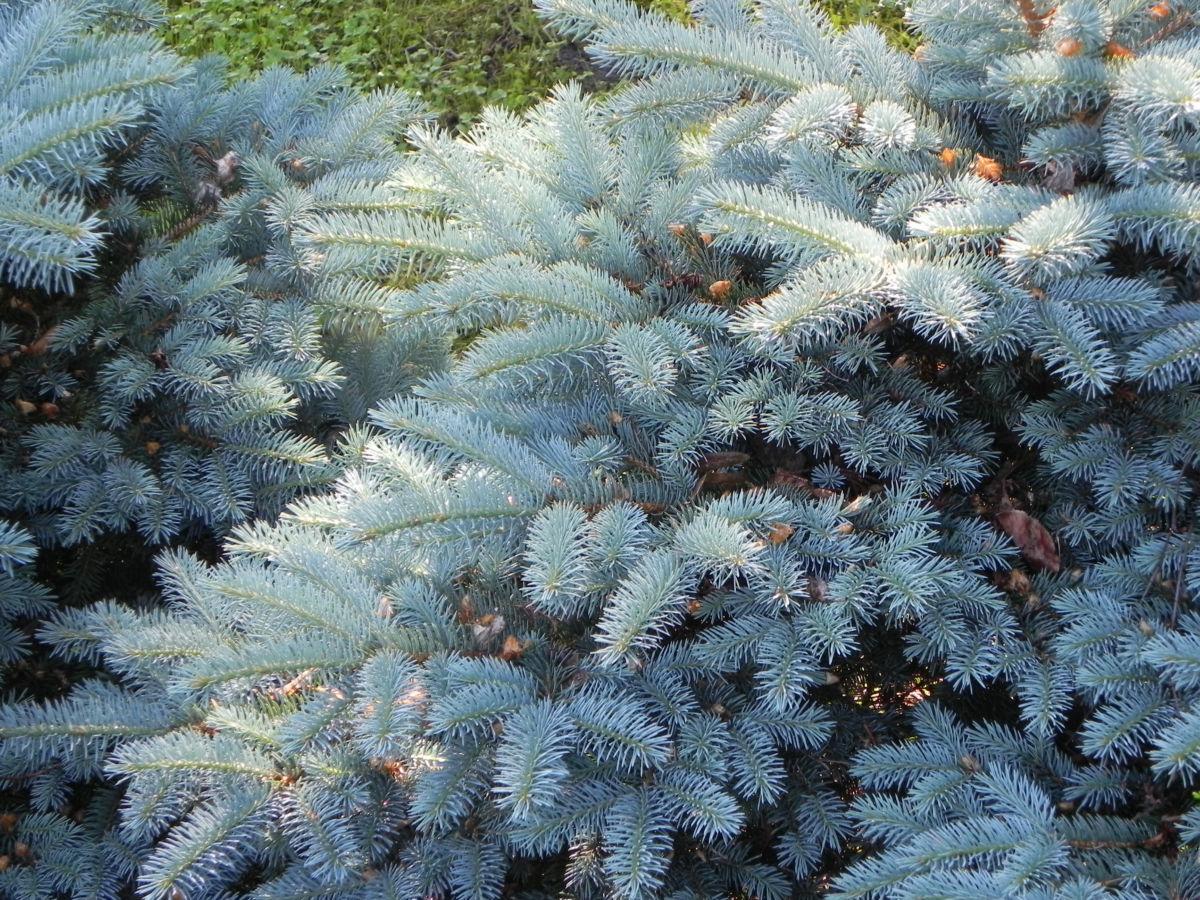 Borsten Fichte Bluete braun Picea asperata