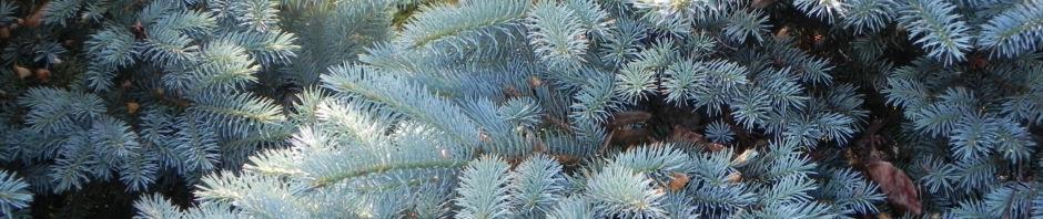 borsten-fichte-bluete-braun-nadel-silber-gruen-picea-asperata