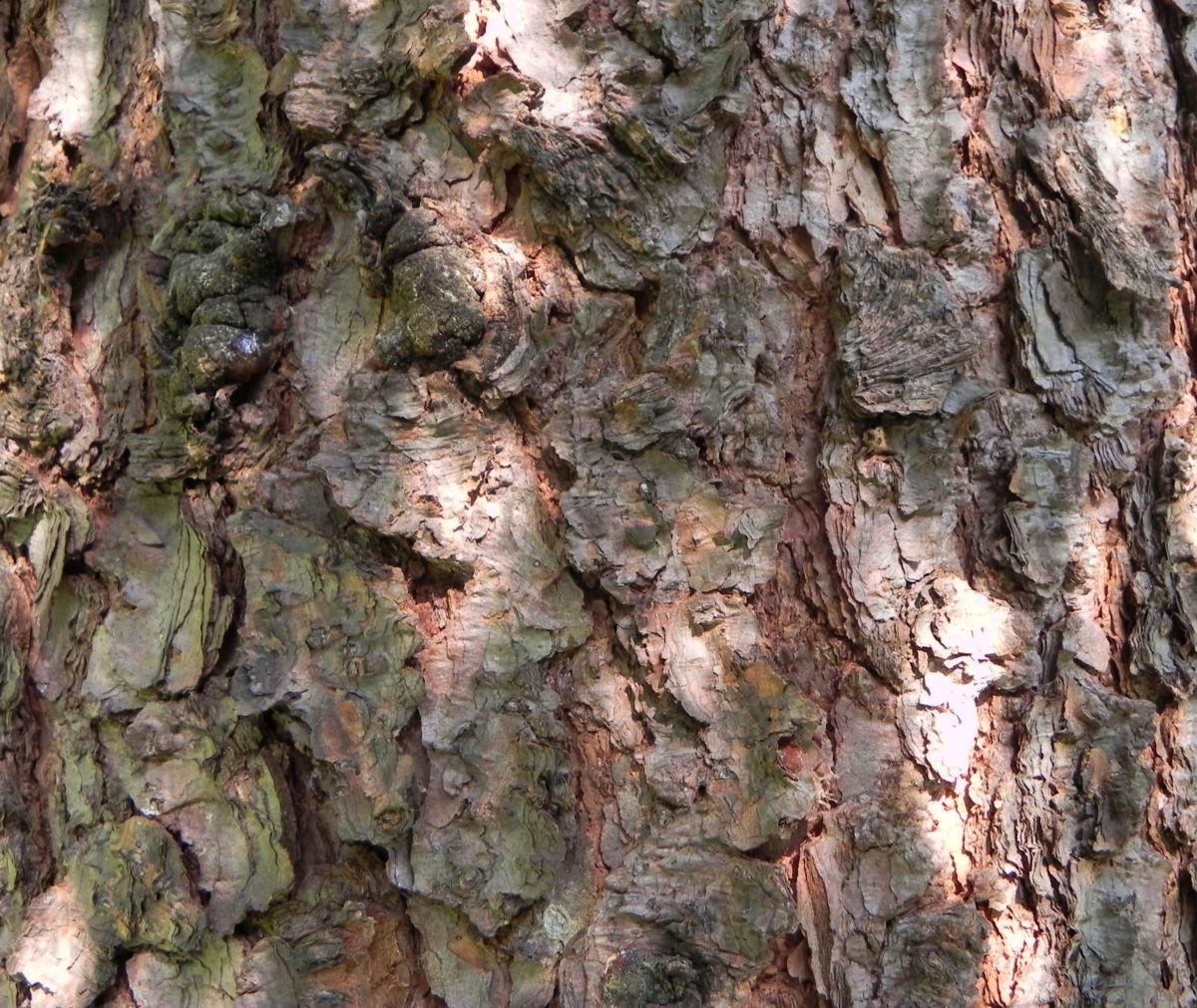 Borsten Fichte Borke braun Picea asperata