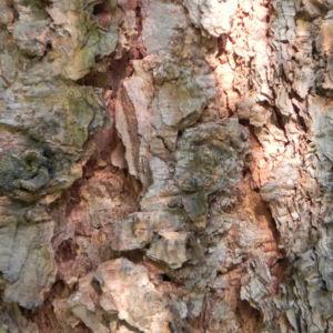 Borsten Fichte Borke braun Picea asperata 03