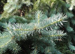 Borsten Fichte Nadel silber gruen Picea asperata 04