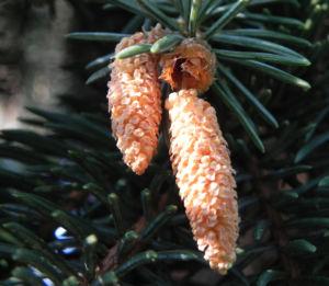 Borsten Fichte Nadel silber gruen Picea asperata 06