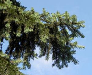 Borsten Fichte Nadel silber gruen Picea asperata 07