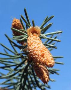 Borsten Fichte Nadel silber gruen Picea asperata 10
