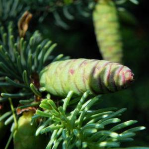 Borsten Fichte Zapfen gruen Picea asperata 02