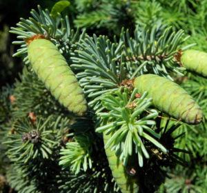 Borsten Fichte Zapfen gruen Picea asperata 03