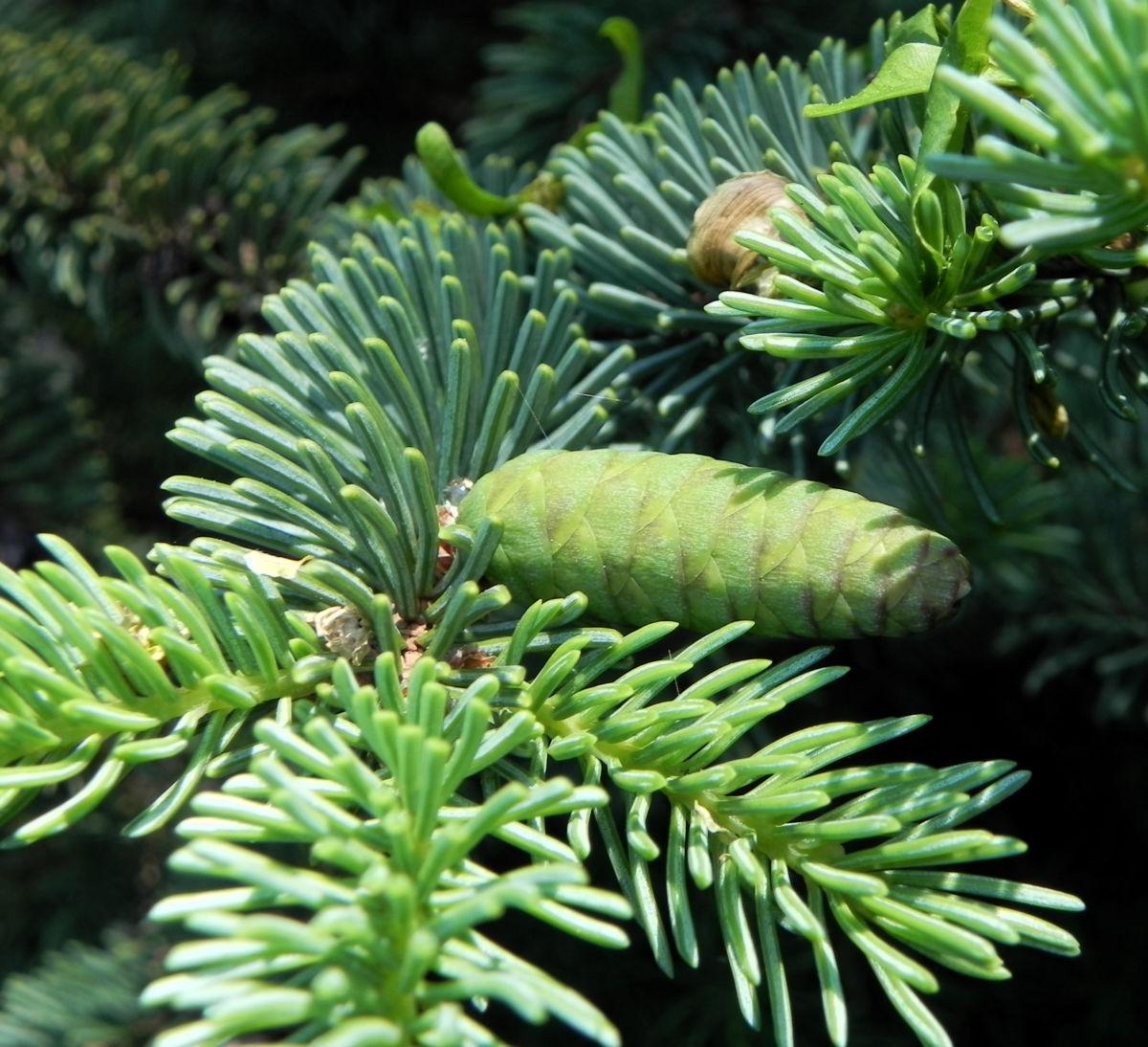 Borsten Fichte Zapfen gruen Picea asperata