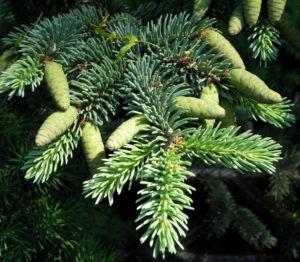 Borsten Fichte Zapfen gruen Picea asperata 12