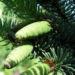 Zurück zum kompletten Bilderset Borsten-Fichte Zapfen grün Picea asperata